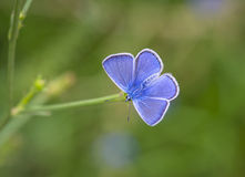 Blue butterfly resting on the grass Stock Images