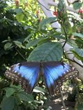 A Blue Butterfly Resting on a Leaf. A blue butterfly sitting still on a green leaf. The large butterfly has white spots along the ends of its wings Royalty Free Stock Photography
