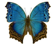 Blue butterfly Salamis temora Royalty Free Stock Photography