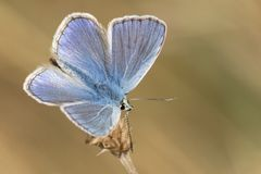 A blue butterfly on Southampton Common stock image