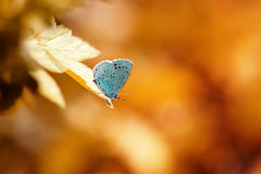 blue butterfly sits on a leaf in a Sunny bright day Stock Photo