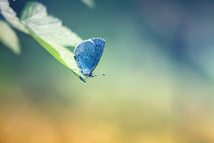 Blue butterfly sits on a leaf in a Sunny bright day Royalty Free Stock Photo