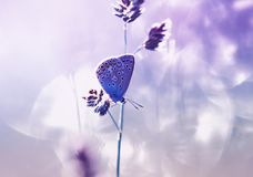 Blue butterfly sits on a summer gentle Sunny meadow in pastel colors and lilac light. Small blue butterfly sits on a summer gentle Sunny meadow in pastel colors royalty free stock photo