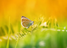 Blue butterfly sitting on a blade of grass on a sunlit meadow Royalty Free Stock Photo