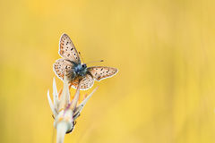 Blue butterfly sitting on a flower on a Sunny meadow. Beautiful blue butterfly sitting on a flower on a Sunny meadow royalty free stock photo