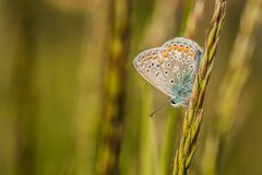 Blue butterfly sitting on grass. Fragile blue butterfly with orange, brown, white and blue colors and black spots sitting upside down on a piece of green grass stock photos