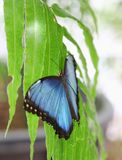 Blue butterfly sitting on a green leaf royalty free stock photography