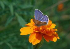 Blue butterfly sitting on marigold Royalty Free Stock Image