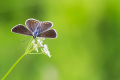Blue butterfly sitting on meadow on background of green grass. A little blue butterfly sitting on meadow on background of green grass stock image