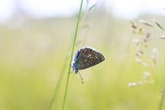 Blue butterfly sitting on meadow illuminated by bright sun light Stock Images