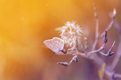 Blue butterfly sitting on meadow illuminated by bright sun light Stock Photos