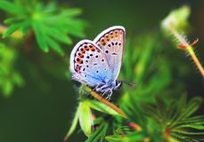 Blue butterfly. Small blue butterfly on flower Royalty Free Stock Image
