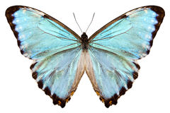 Blue butterfly species Morpho portis thamyris Stock Photo