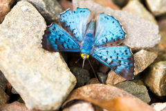 Blue butterfly on stones Royalty Free Stock Photos