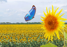 Blue butterfly and sunflower Stock Images