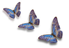 Blue butterfly. Three blue butterfly flying over white stock image