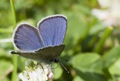 Blue butterfly. On white flower Royalty Free Stock Images