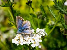 Blue butterfly on white flower Stock Photo