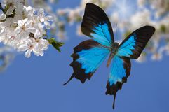 Blue butterfly and white flowers 2 Royalty Free Stock Image