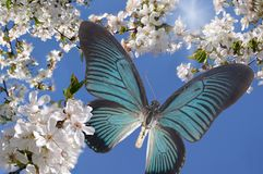 Blue butterfly and white flowers Royalty Free Stock Photo