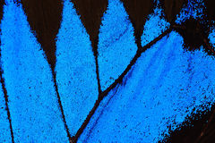 Blue butterfly wing Stock Photography