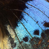 Blue butterfly wing Stock Images