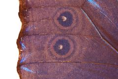 Blue Butterfly Wing Texture Royalty Free Stock Image