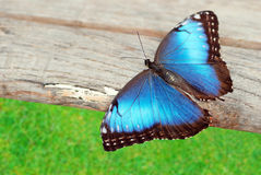 Blue butterfly on wood
