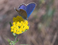 Blue butterfly on yellow flower. Blue butterfly gathering nectar on yellow flower Royalty Free Stock Photo