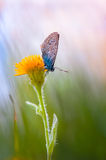 Blue butterfly. Yellow flower with Blue butterfly at sunrise Royalty Free Stock Images