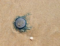 Blue Button - Porpita Porpita - Jellyfish on Beach Royalty Free Stock Image