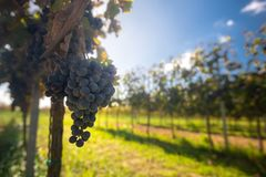 Blue Cabernet Franc grapes in the vineyard with the autumn season before the harvesting time. Blue Cabernet Franc grapes in the hungarian vineyard with the royalty free stock photography