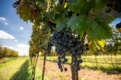 Blue Cabernet Franc grapes in the vineyard with the autumn season before the harvesting time. Blue Cabernet Franc grapes in the hungarian vineyard with the royalty free stock image