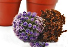 Blue Cactus stock photography