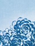 Blue Cactus Succulent Royalty Free Stock Images