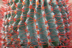 Blue Cactus With Red Needle Stock Photo