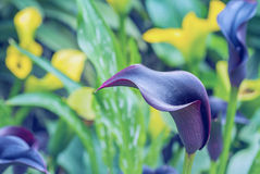 Blue Calla lily. Blue with purple color Calla lily in botanic garden Stock Image