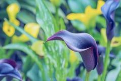 Blue Calla lily Stock Image
