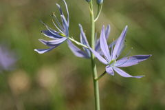 Blue Camas Royalty Free Stock Photos