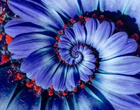 Blue camomile daisy flower spiral abstract fractal effect pattern background. Blue violet navy flower spiral abstract pattern. Fractal. Incredible flowers royalty free stock image