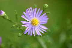 Blue camomile flower Royalty Free Stock Images