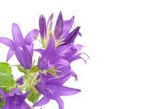 Blue campanula Royalty Free Stock Images