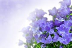 Blue campanula Stock Images