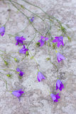 Blue campanula Royalty Free Stock Image
