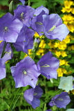Blue campanula or canterbury bells. stock image