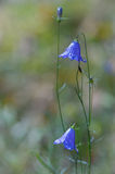 BLUE CAMPANULA Stock Images