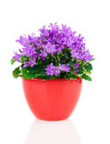 Blue campanula flowers in red pot Stock Photo