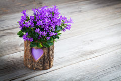 Blue campanula flowers for Valentine's Day Royalty Free Stock Photo