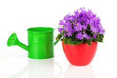 Blue campanula flowers with watering can Stock Image