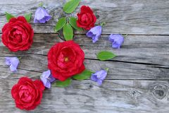 Blue campanula persicifolia and red rose flowers on wood background. Campanula is a flowering plant. . Flat lay, top. View,empty space for your text royalty free stock photos